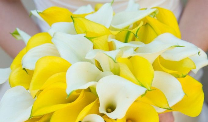 calla lily flower its meanings  symbolism / order flowers, Natural flower